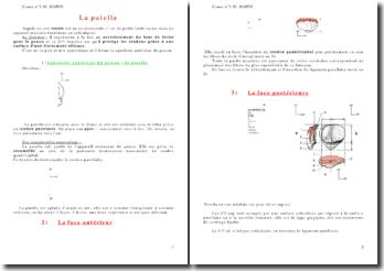 L'anatomie de l'appareil locomoteur: la patella