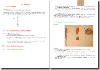 L'anatomie de l'appareil locomoteur: la fibula