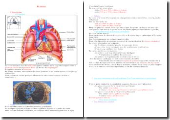 L'anatomie du coeur et le circuit du sang dans le coeur