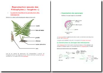 La reproduction sexuée des filicophytes (« fougères »)