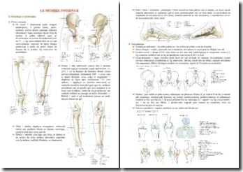 Cours d'anatomie du membre inférieur PACES (première année de médecine)