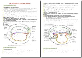 Cours sur la délimitation antéro-postérieure de l'embryon PACES (première année de médecine)