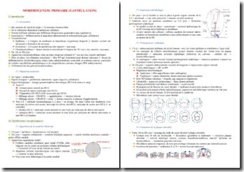 La morphogenèse primaire chez l'embryon (gastrulation)
