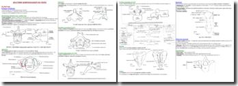 L'anatomie morphologique du tronc humain