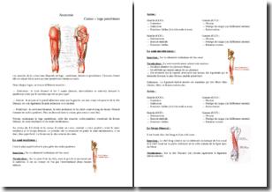Les muscles de la cuisse : la loge postérieure