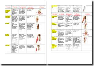 Tableau récapitulatif des différents muscles