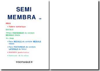 Muscles des membres inférieurs - Semi membra SM