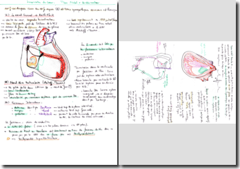 Innervation et vascularisation du coeur